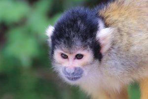 Black-capped squirrel monkey looking curiously