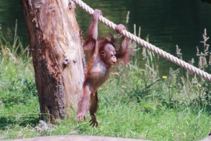 Young Orangutan hanging from a rope