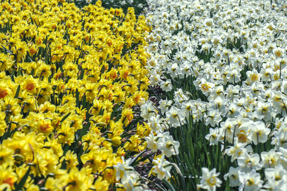 Yellow and white narcissi