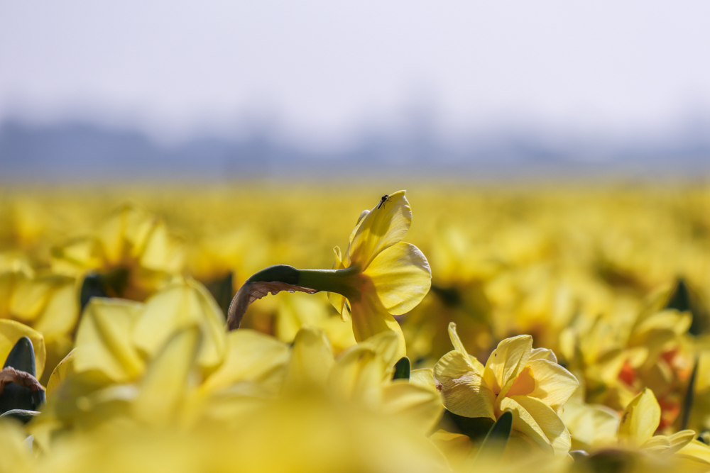 Yellow narcissi in a large field