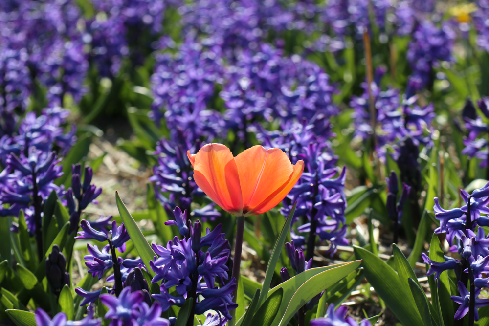 Field of purple Hyacinths with an orange tulip